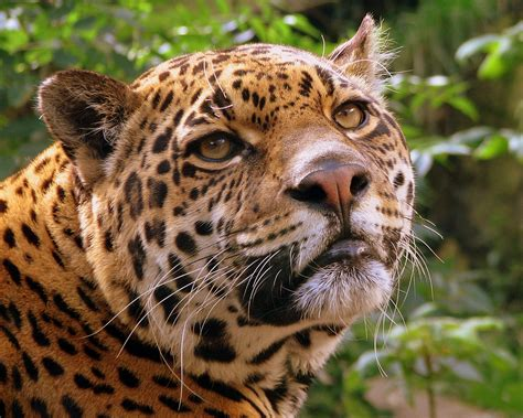 Jaguars Cat Animal Galleries Pictures Of Animals From Around The