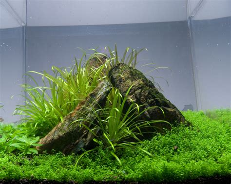 Aquascaping Tips by Hemianthus Callitrichoides Hc Growing Tips Aquascaping