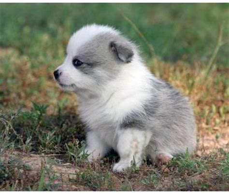 borgi puppies borgie corgie and border collie my favorite dogs want one stuff