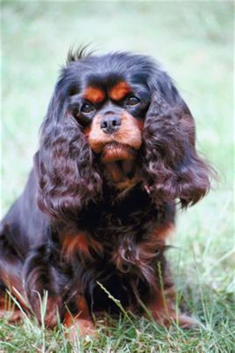 when do small breed puppies stop growing when do cavalier puppies stop growing in height care the daily puppy