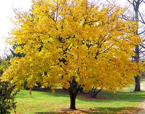 yellow maple tree free stock photo domain pictures