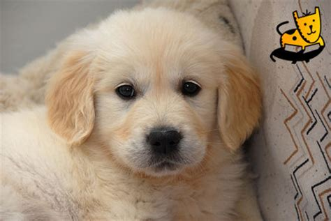 potty a golden retriever puppy golden retriever puppies berlin ct asnclassifieds
