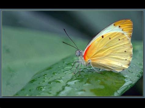 imagenes de mariposas sicodelicas fotos de mariposas maravillosas