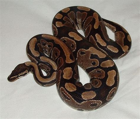 the best pet snake a ball python pets a snake and snakes