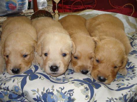 golden retriever cancer rate new study looks to explain higher cancer risk in golden retrievers all pet news