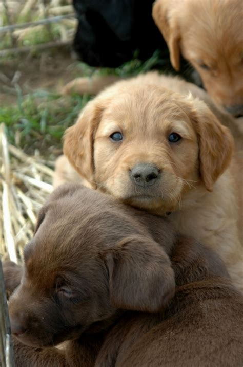 Do Yellow Labs Shed by 2017 Beautiful Yellow Lab Golden Retriever Mix Puppies Rescue Near Me Pictures Images