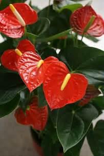 plantes fleuries d int 195 194 169 rieur anthurium black pot
