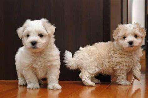 havaton puppies havaton breed 187 information pictures more