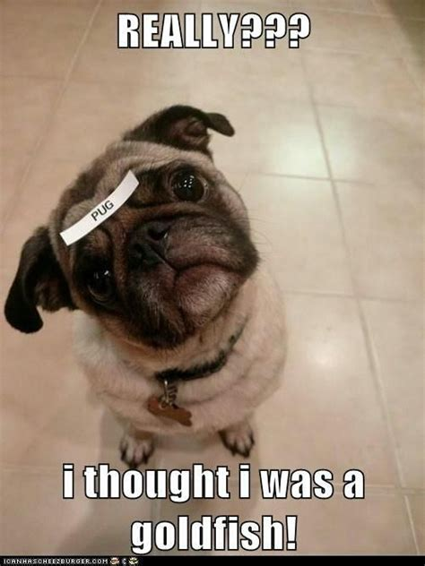 Pug Memes - pug dog or i m a goldfish what breed is it