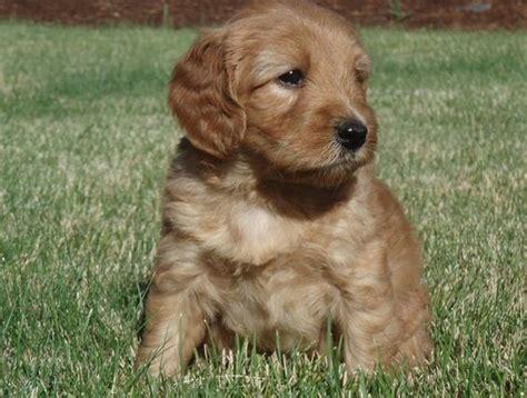 medium hypoallergenic dogs medium hypoallergenic dogs gallery puppies medium galleries and dogs
