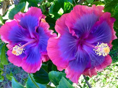 Flower Pashmina 1 purple pashmina hibiscus flowers purple