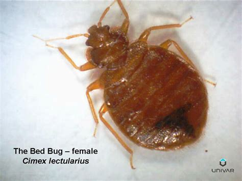 bed bug diseases human skin parasites bedbugs