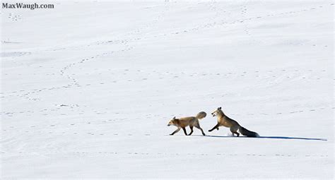 Courting Doubt And Darkness yellowstone winter 2016 trip report days 12 13
