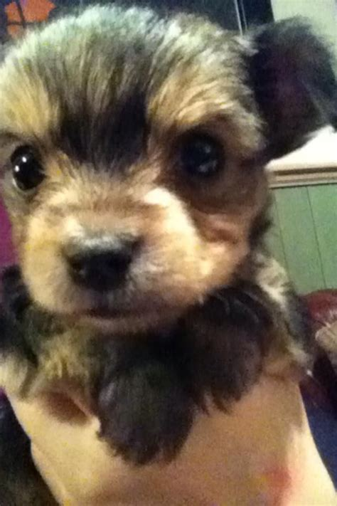 chihuahua cross yorkie puppies for sale tiny chorkie chihuahua cross yorkie pups for sale sleaford lincolnshire pets4homes