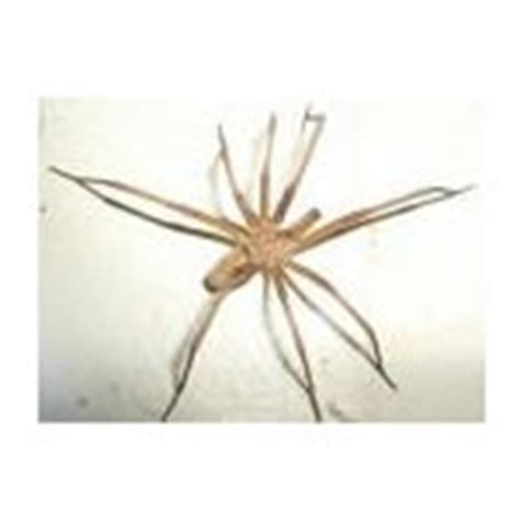 domestic house spider bango s pest control pest info southern domestic house spider