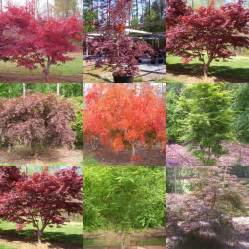 best design dwarf japanese maple tree varieties 1000 images about japanese maple trees on