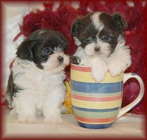shih tzu 6 weeks 6 week mal shi maltese shih tzu mix puppies lovable friends