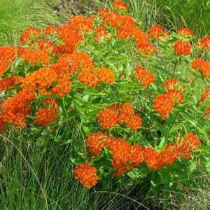 House Plants Pink Flowers - asclepias tuberosa butterfly weed yards pinterest