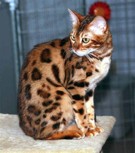 Cat Breeds That Dont Shed   Cats Types