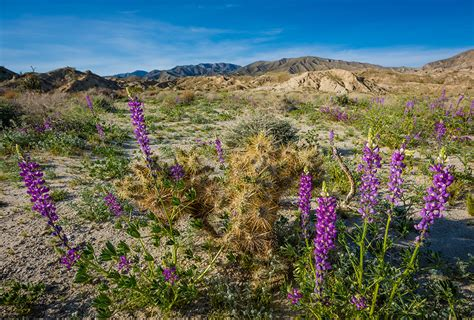 super bloom anza borrego anza borrego desert state park wildflower super bloom