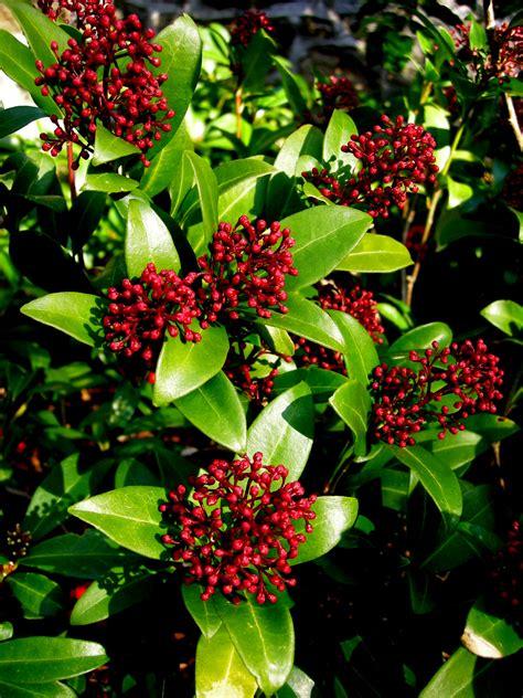 Daphne odora skimmia japonica carolyn s shade gardens