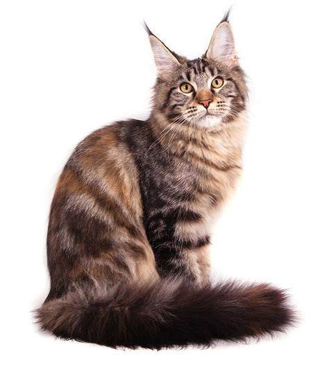 costo gatti persiani the cuddlywumps cat chronicles legends of the maine coon