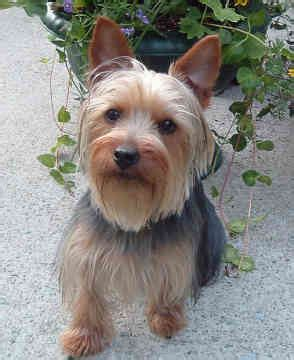 silky terrier with haircut silky terrier ok yes i already have one hes been the