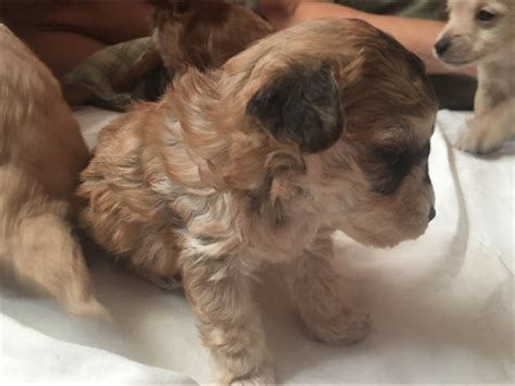 poodle mix puppies near me teacup poodle mix puppies pets los angeles ca recycler