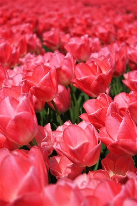 Mukena Bali Tulip Dewasa Fit L free pink tulips stock photo freeimages