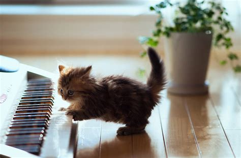 who plays cat small cat the piano cats wallpaper
