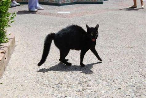 uccidere un gatto porta gatti neri opinioni psichedeliche sentenze ineducate e