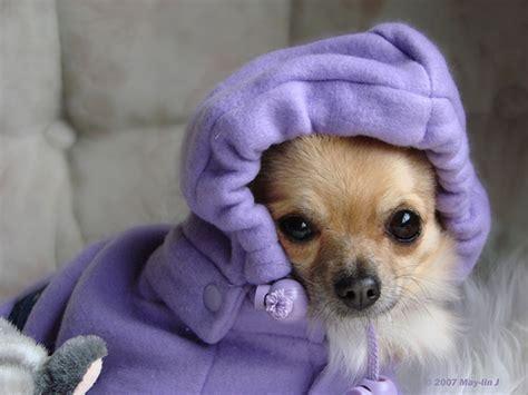 non allergenic dogs hypoallergenic dogs