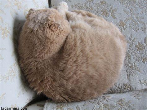 Zoya Estelle Scarf Baby Scottish Fold Cat Munchkin Kitten Cats
