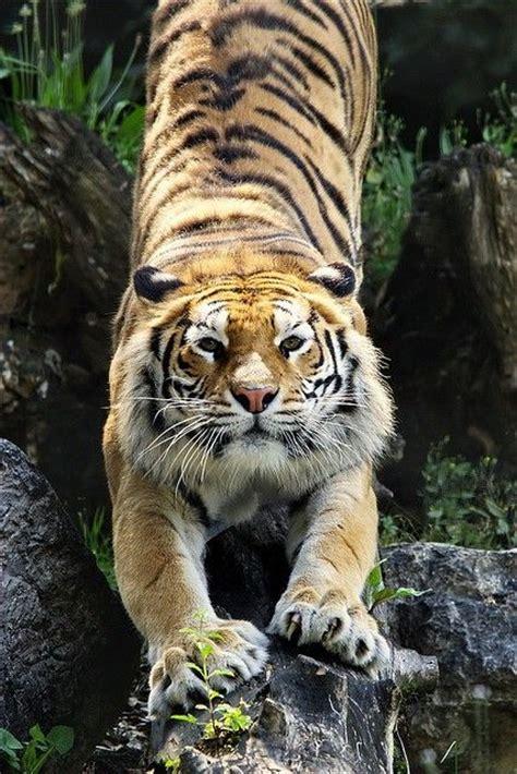 earth tiger tigers pinterest