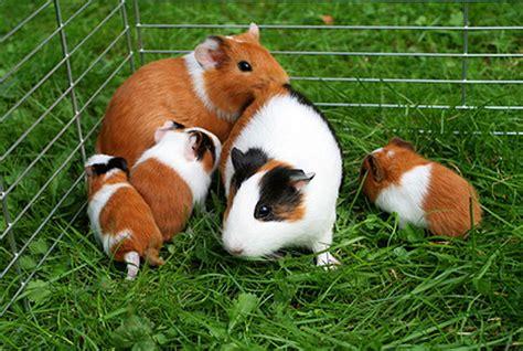 Eigenbau Meerschweinchen Kaufen 6625 eigenbau meerschweinchen kaufen meerschweinchen eigenbau