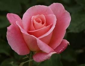 tiffany rose pink hybrid tea rose