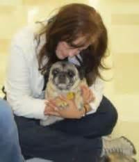 foster a pug foster a pug colorado pug rescue