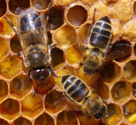 Lebah Maxy 191 qu 233 hay de malo con la miel ecosof 237 a