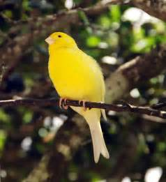 Canary by Canary Birds Were Named After The Canary Islands Not The