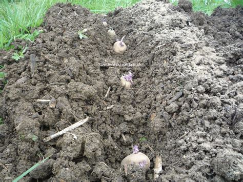 when and how to plant potatoes gardenfocused co uk