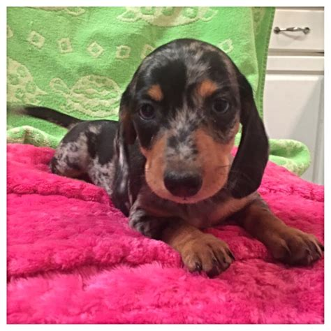 puppies for sale roanoke va dachshund for sale in roanoke va dogs in our photo
