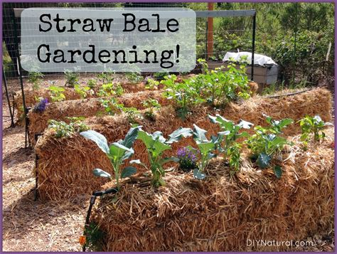 straw bale gardening an easy way to grow food