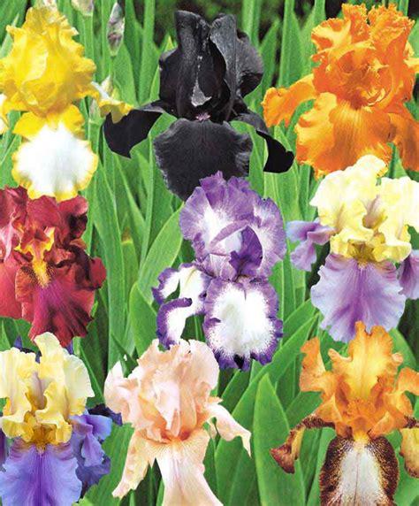 giaggioli fiori acquista giaggioli bakker