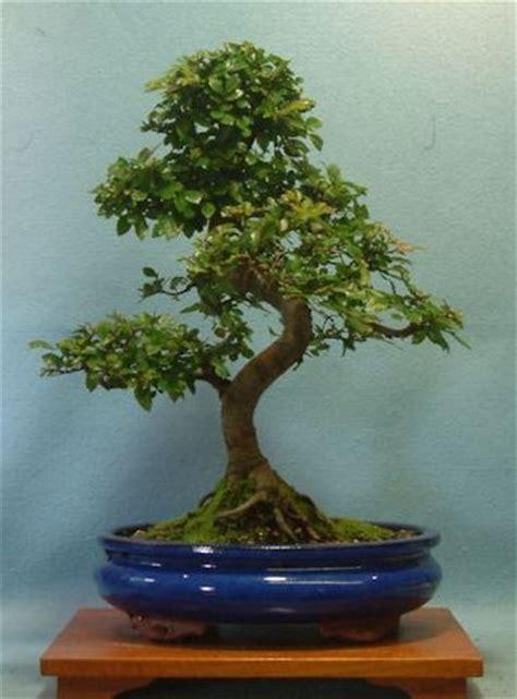 tree shop uk bonsai trees bonsai tree shop