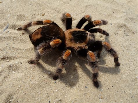 spiderling curly hair spiderlings tarantula care sheet how to care for a brachypelma smithi mexican red knee