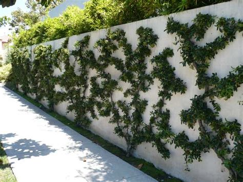 Balcony Fruit Trees by Espalier For Small Space Gardens Moran Landscapes