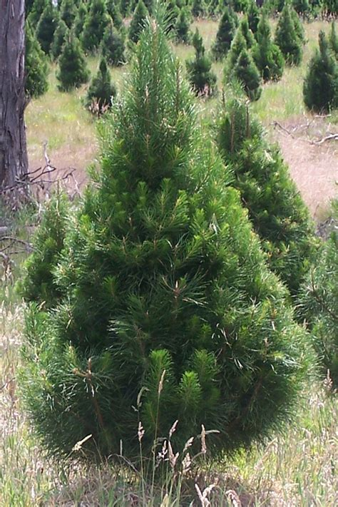 prices of live chirstmas trees delivered to you