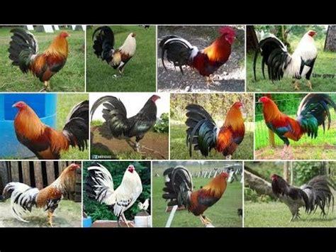 gallos de peleas de todas las razas apexwallpapers com razas de gallos de pelea 2017 youtube
