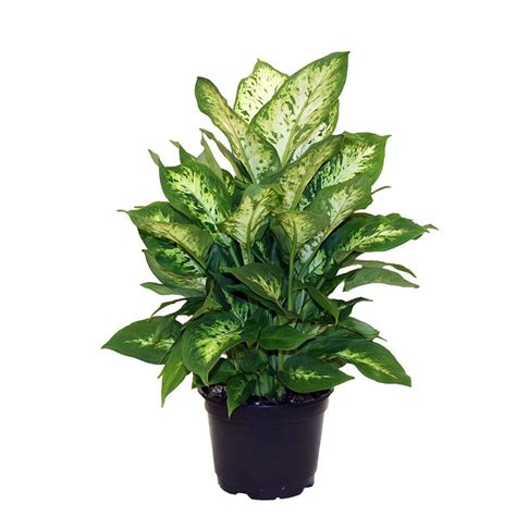 delray plants dieffenbachia exotica in 6 in pot 6ex the
