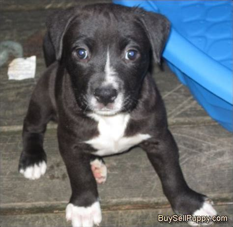 bulldog pitbull mix puppies for sale best 25 pitbull mix breeds ideas on mix pitbull pit bull mix and pitbull